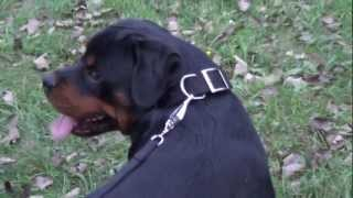 German Rottweiler - A Dog Of Active Temperament!