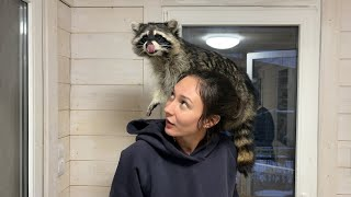 RACCOON GORUSHKA REACTS TO THE FIRST OWNER / Massage for raccoon