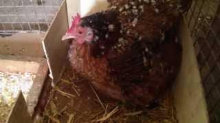 Kurka i jej 11 kurczaczków. Edycja maj 2013 :)
