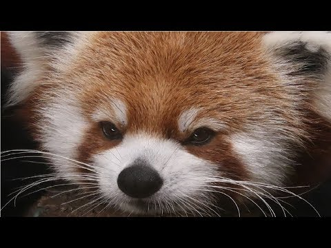 Chattanooga Zoo and Tennessee Aquarium | Red Pandas!!!!