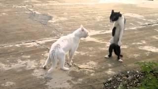 Коты весной видео/коты орут весной