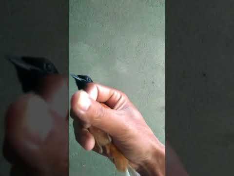 Ciri Burung Murai Batu Jantan Palangka