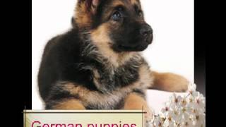 German Shepherd Puppies For Sale - Germanpupp.com