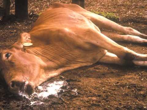 Q Disease Cattle African Buffalo: A maj...