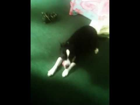 smart dog show you weiner