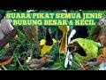 Suara Pikat Semua Jenis Burung Besar Dan Kecil Liar   Mp3 - Mp4 Download
