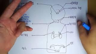 해부생리학 9-2 내분비계 뇌하수체Hr by learning mate