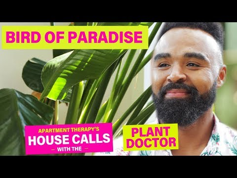 A Bird Of Paradise Named Rhianna | House Calls With The Plant Doctor | Apartment Therapy