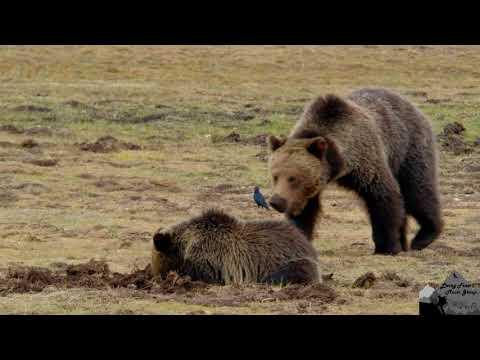 4K Yellowstone National Park Wildlife by JMG filmed with Fuji XT2
