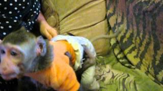 Яванская макака Феденька и его подружка Снежанна
