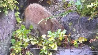 日本庭園の池の脇で、雨の中イノシシの子が土を掘り返していました。 警...