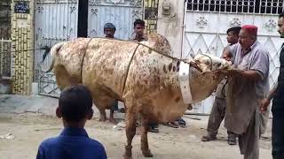 Cow qurbani || 2018 || Dangerous || Bakra Eid || Lahore || Eid ul adha ||
