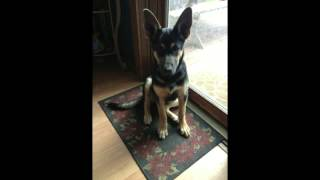 German Shepherd Puppy Growth From 1 To 8 Months Old