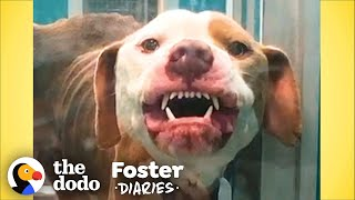 Terrified Pittie Transforms Into The Biggest Cuddlebug | The Dodo Foster Diaries