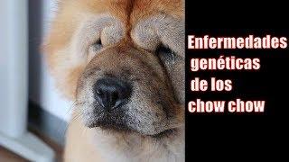 Enfermedades genéticas de los chow chow INFORMACION IMPORTANTE QUE DEBERIAS CONOCER!