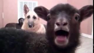 Говорящий козел и собака в шоке )) , она хочет так же )