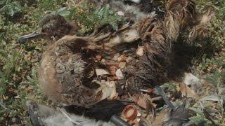 Every Bird On This Island Eats Plastic