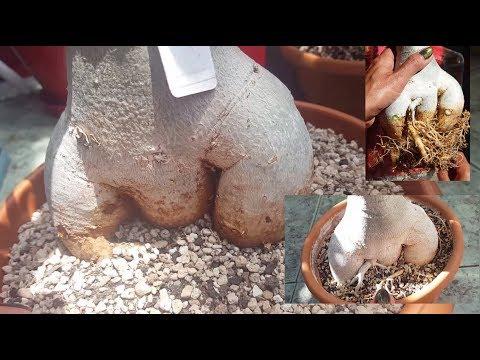 Пересадка Адениума с обрезкой корней
