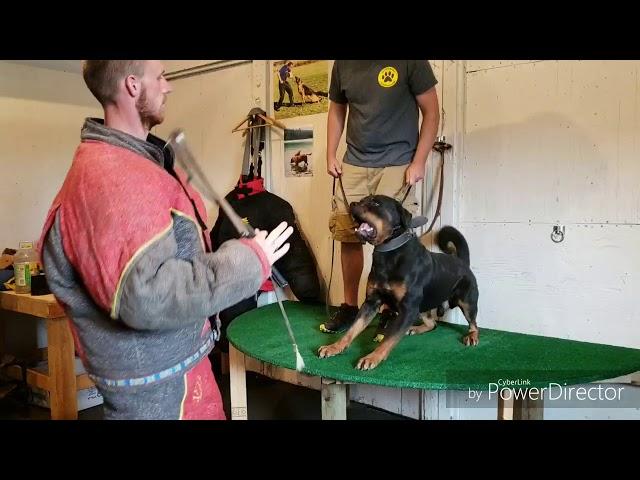 Rottweiler attack training - presaguarddogs.com