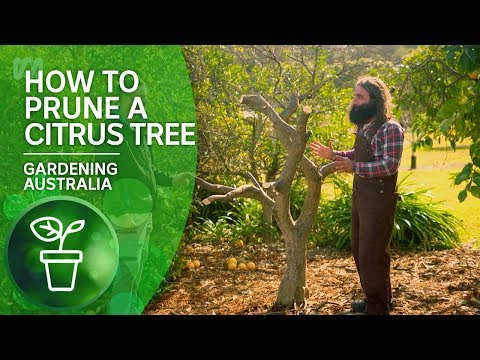 How To Prune A Citrus Tree