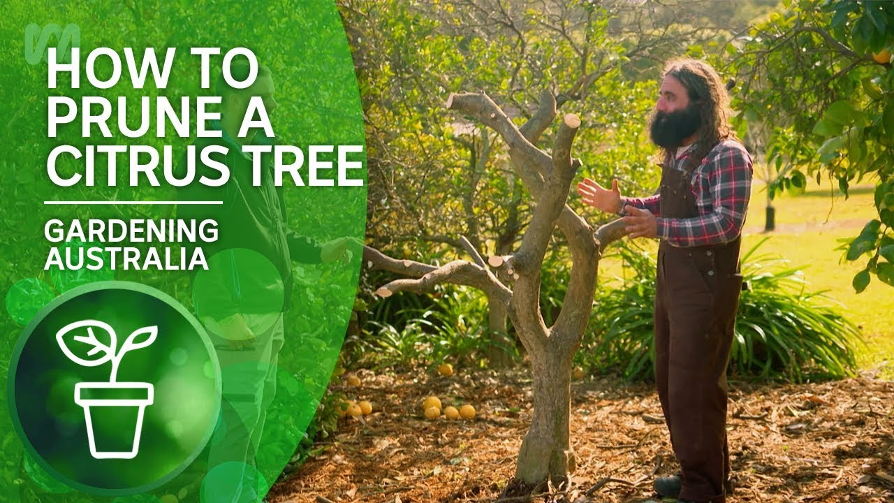 How To Prune A Citrus Tree You