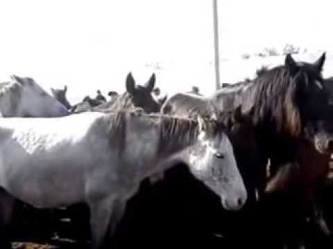 ЯРМАРКА -БАЗАР , ГДЕ МОЖНО КУПИТЬ ЛОШАДЕЙ , ЖЕРЕБЯТ ,КОРОВ ,БАРАНОВ -BAZAAR HORSE .COW.SHEEP.GOAT .