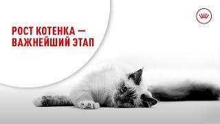 Рост котенка