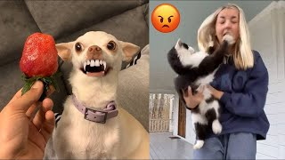 Funniest Dogs will make you laugh all day long #17  | Chihuahua TV