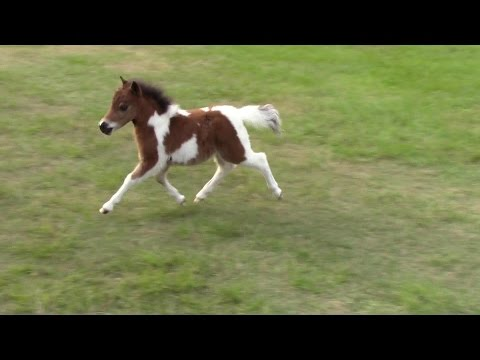 """""""SOLD"""" Miniature horse for sale - Dent Lady Jassie -2015 Foal"""