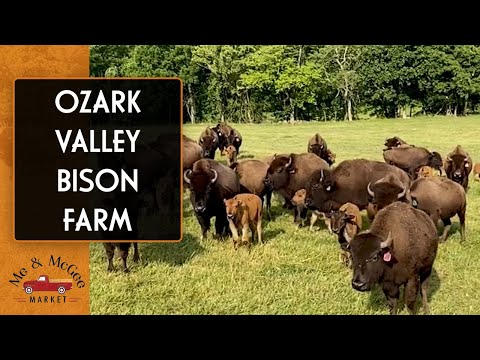 Pure Bloodline Bison | Ozark Valley Bison Farm: Farm Tour (2020)