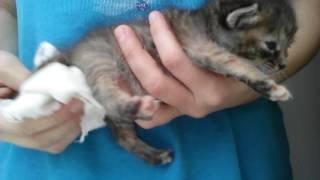 Котёнок без мамы. Массаж для мочеиспускания и испражнения