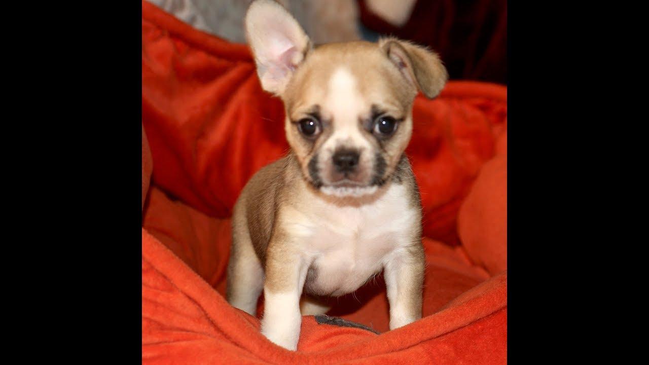 "royal frenchel micro mini , hybrid designer breed french bulldog mix ""margo"""