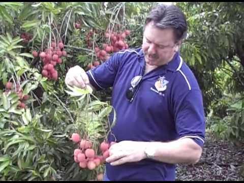 Its lychee Picking Time!!