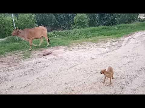 หมาน้อยช่วยเลี้ยงวัว@บ้านรถยก รถสไลด์ร้อยเอ็ด 085-3537363