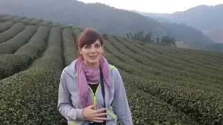 Mae Salong - North Thailand - Tea Plantation