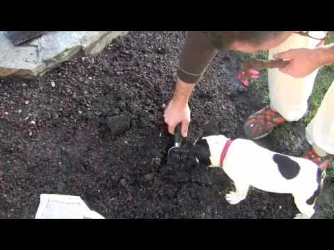How To Plant A Peony Youtube
