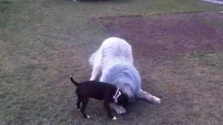Staffordshire Bull Terrier Vs. Tibetian Mastiff (david Vs. Goliath)