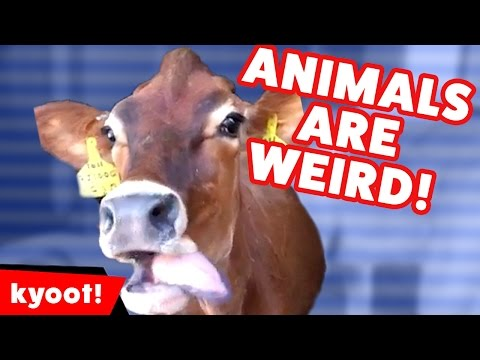 The Weirdest Cutest Funniest Animals of 2016 Weekly Compilation | Kyoot Animals