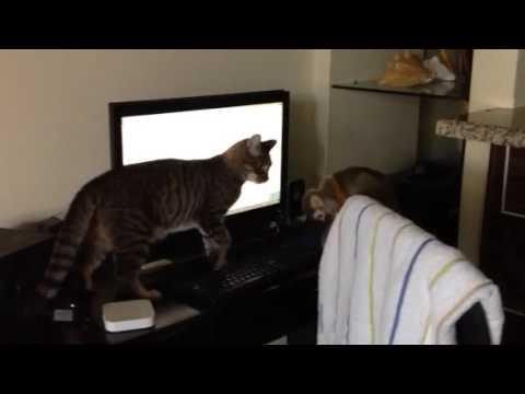 Squirrel monkey (Saimiri) playing with cat #1