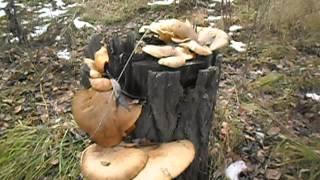 Гриб вешенка в природе.(Показаны грибы вешенка,как встречаются на природе., 2015-10-30T14:52:45.000Z)