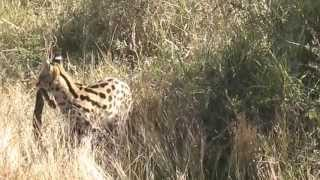 Serval VS Puff adder