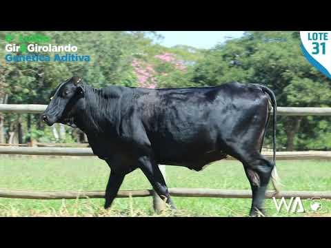 LOTE 31 - 6302 BD - 6º Leilão Gir & Girolando Genética Aditiva