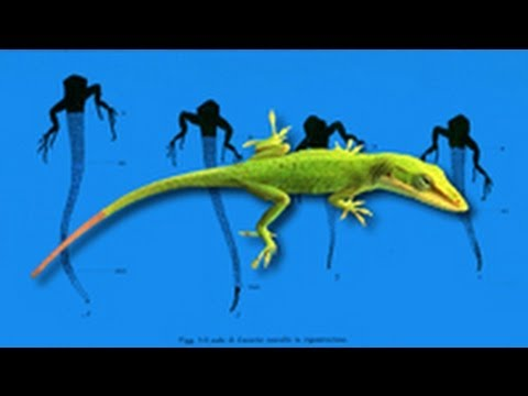 Lizard Tails  Grow Back, but They