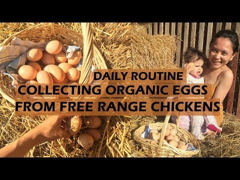 ORGANIC EGGS COLLECTION FROM OUR FREE RANGE CHICKENS : A DAILY ROUTINE AT HOME