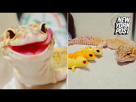 This cheeky gecko is NOT trying to sell you auto insurance | New York Post