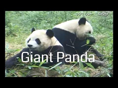 Giant Pandas at Wolong Nature reserve פנדות בשמורת וולונג, סין