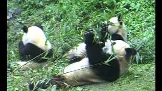 pandas at Wolong Nature Preserve