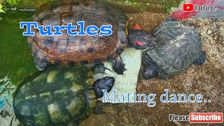 Red Eared Slider Turtles Mating Dance || kolam outdoor kura-kura