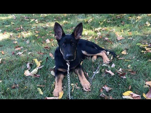"""blak"":-4-month-old-german-shepard-training"