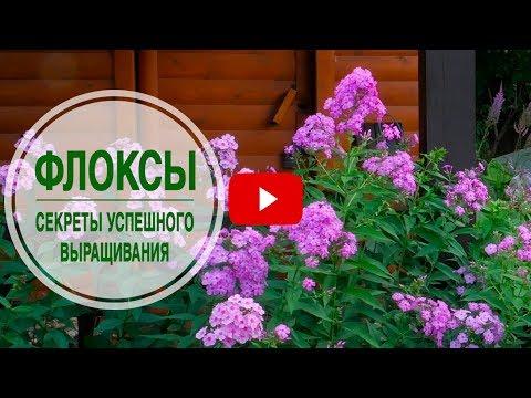 флоксы фото цветов садовая